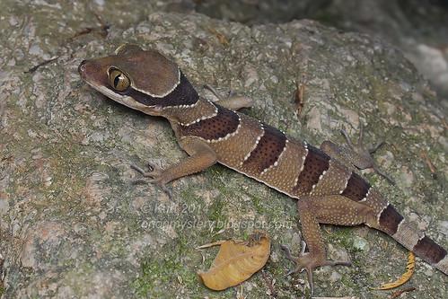 Cyrtodactylus pulchellus IMG_2444 copy