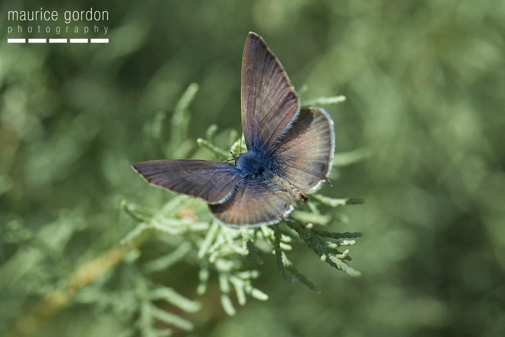 Lang's Short-tailed Blue1638