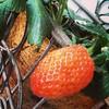 Morangão na casa  #morango #strawberry #serranegra #saopaulo