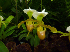 "Paphiopedilum orchid, photographed at the sfos ""orchids in the park"" show & sale 8-14"