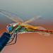 Dragonfly. Libélula. اليعسوب by Abdel Charaf Photography