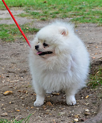 japanese spitz(0.0), keeshond(0.0), tibetan spaniel(0.0), dog breed(1.0), animal(1.0), german spitz klein(1.0), dog(1.0), pet(1.0), volpino italiano(1.0), german spitz(1.0), german spitz mittel(1.0), carnivoran(1.0), american eskimo dog(1.0), pomeranian(1.0),