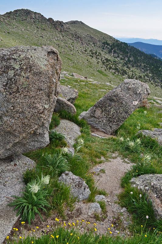 Cirsium scopulorum (2)