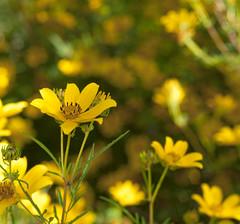 Yellow Petals 2014