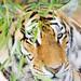 Tiger's Stare / 東北虎林園 Siberian Tiger Park / 中國黑龍江哈爾濱 Harbin, Heilongjiang, China / SML.20140729.7D.52252