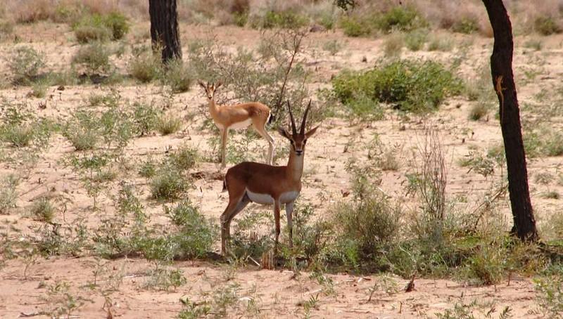 282 Camel safari a Jaisalmer (117)