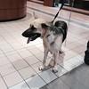 #Founddog 9-18-14 STRAY #Houston #TX #GermanShepherd 1 yr female TRACY PATTON LOST AND FOUND PETS-CYPRESS, TEXAS https://m.facebook.com/story.php?story_fbid=828914647143412&id=222135124488037