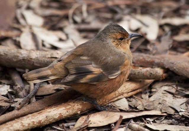 Rufous treecreeper, Pemberton, Western Australia