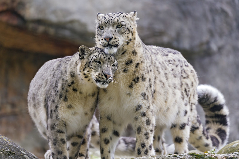 Snuggling snow leopards II