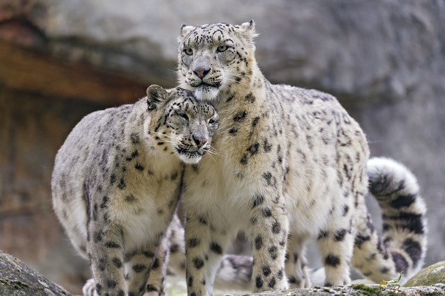 Snuggling snow leopards II