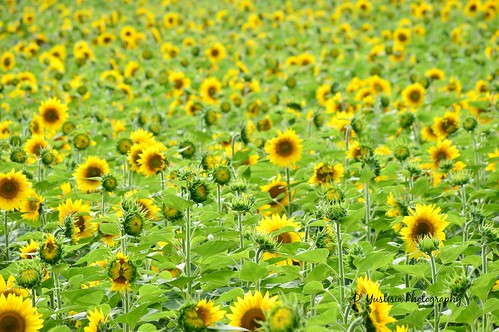 Lost in the Sunflower Field