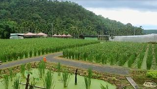 埔里茭白筍綠保田。(圖片來源:慈心基金會)