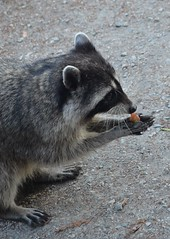 animal(1.0), raccoon(1.0), mammal(1.0), fauna(1.0), whiskers(1.0), viverridae(1.0), procyon(1.0), wildlife(1.0),