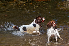 hunting dog(0.0), animal(1.0), dog(1.0), boykin spaniel(1.0), welsh springer spaniel(1.0), pet(1.0), mammal(1.0), small mã¼nsterlã¤nder(1.0), field spaniel(1.0), drentse patrijshond(1.0), brittany(1.0), setter(1.0), russian spaniel(1.0), spaniel(1.0), german spaniel(1.0), french spaniel(1.0), english springer spaniel(1.0),