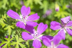 geranium cinereum(0.0), macro photography(0.0), annual plant(1.0), flower(1.0), plant(1.0), wildflower(1.0), flora(1.0), geraniales(1.0), petal(1.0),