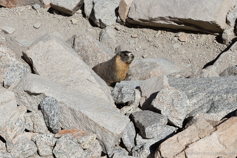 Mt. Whitney marmot guardian