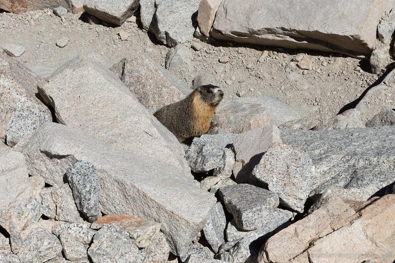 Mt. Whitney marmot guardian