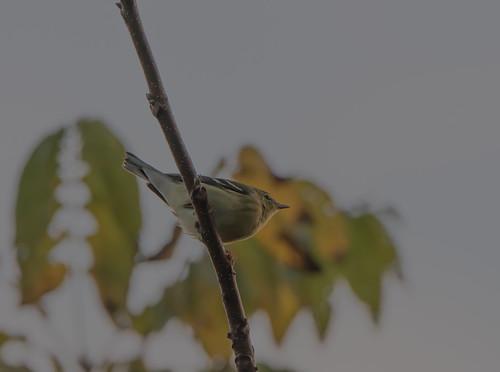 millmontpennsylvania blackpollwarbler warbler bonniecoatesott