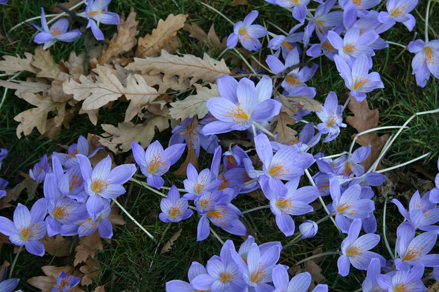 Autumn crocus patch
