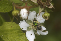 Pure Green Sweat Bee on Blackberry Blossom 1