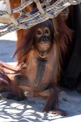 Orangutan Baby Hanging and Smiling