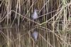 Bailon's crake. an unusual sighting at Magazine Rd wetlands