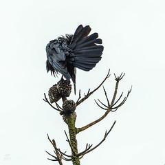 Raven grooming 1