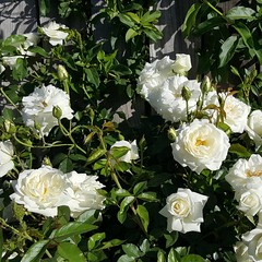 White roses also blooming