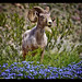 A Borrego Super Bloom or Blooms and Bighorn
