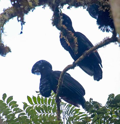 170302 2017 amazonianumbrellabird cephalopterus cephalopterusonatus cotingidae ecuador passeriformes podocarpusnationalpark umbrellabird bird cotinga