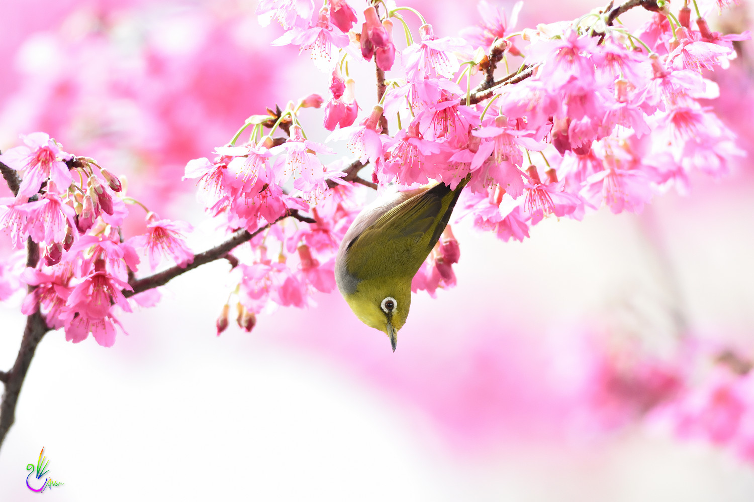 Sakura_White-eye_7937