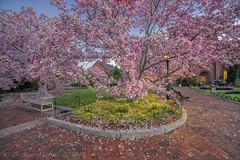 Smithsonian Castle Magnolias