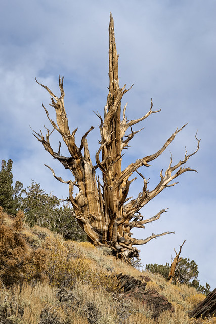Bristlecone Pine on the road to the Patriarch Grove, Ancient Bristlecone Pine Forest, California