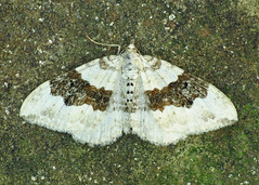 1727 Silver-ground Carpet - Xanthorhoe montanata