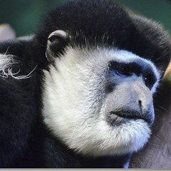 What a #sad #face on this #monkey I photographed. #chicago #zoo #animal #Lincolnpark #lovetophotographanimals