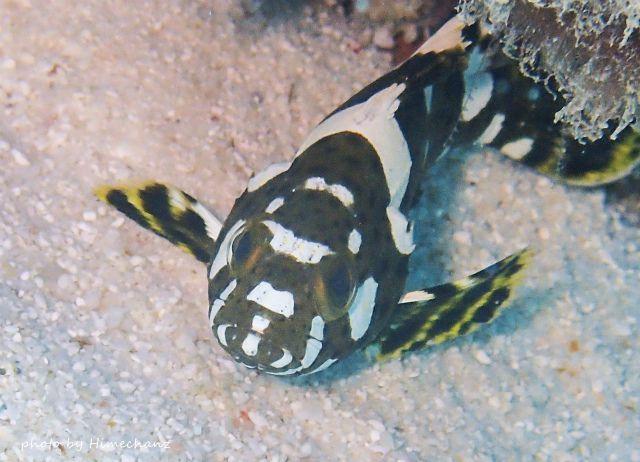 シロブチハタ幼魚