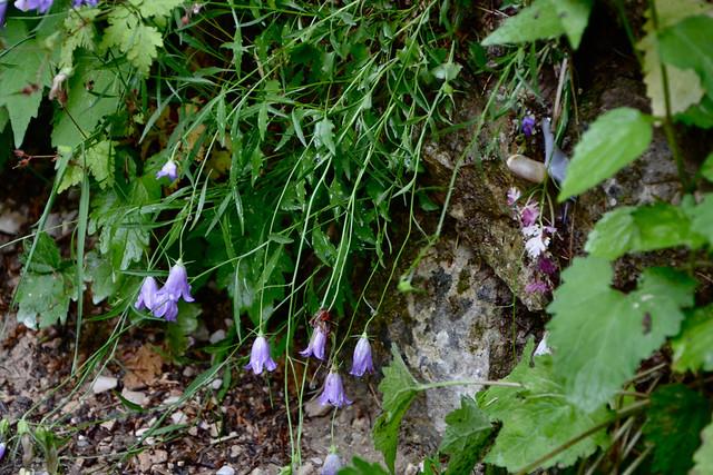 Campanula rotundifolia - campanule à feuilles rondes 14436897484_9617ecd7f2_z