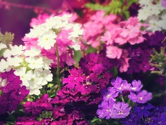 annual plant, shrub, flower, plant, breckland thyme, lilac, flora, petal,