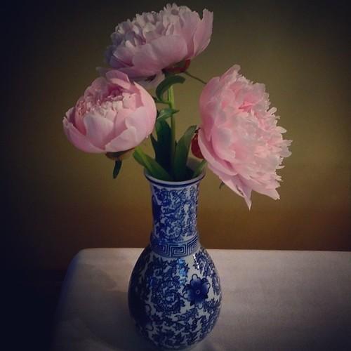 gift from my garden #peonies #pink #flowers #summer #fullbloom #yyc