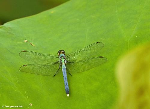 nature insect animal dragonfly wings leaf color green kenilworthaquaticgardens washington dc anacostia zajdowicz canon 7d lotus outdoor macro