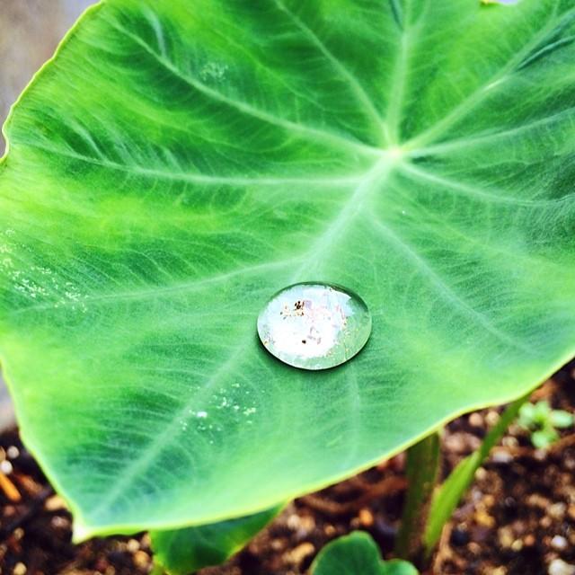 #instagram #instastill #korea #seoul #after #rain #drop ##lotus #leaf #green #litely #still #비온뒤 #연잎 위에 맺히는 #물방울 은 언제나 신기하고 이쁘다~^^