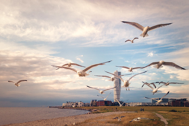 Seagulls of Ribersborg