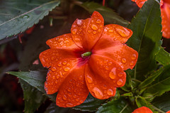 Red - Orange Flower
