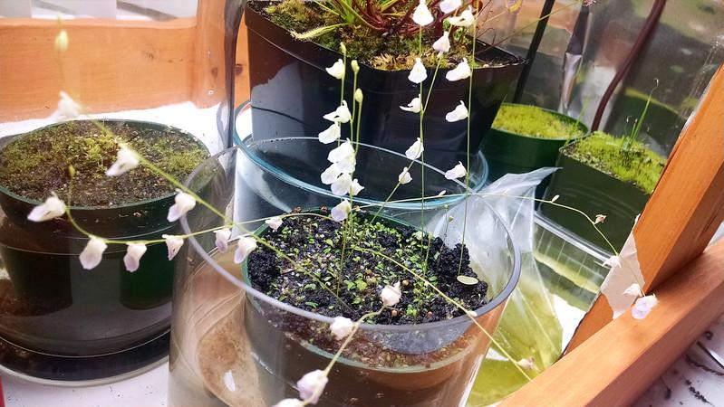 Utricularia livida flowers.