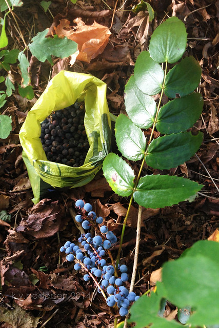 {friday forage} Oregon Grape