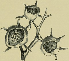 """Image from page 96 of """"Handbuch der Pflanzenkrankheiten"""" (1908)"""