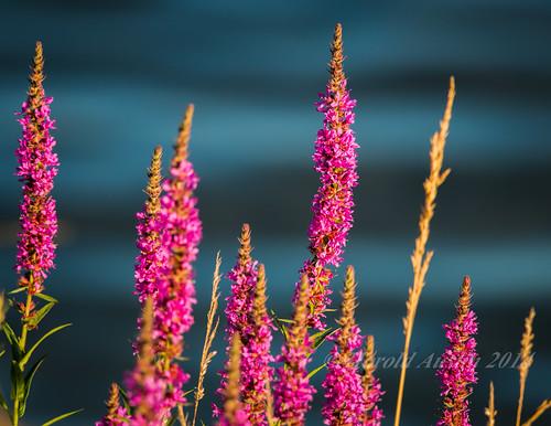 canada flower britishcolumbia july vancouverisland stillife portalberni d800 2014 victoriaquay somassriver nikon300f4 clutesihavenmarina nikon17tceii