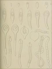 """Image from page 254 of """"Recherches sur la faune littorale de Belgique : les vers cestoïdes"""" (1850)"""