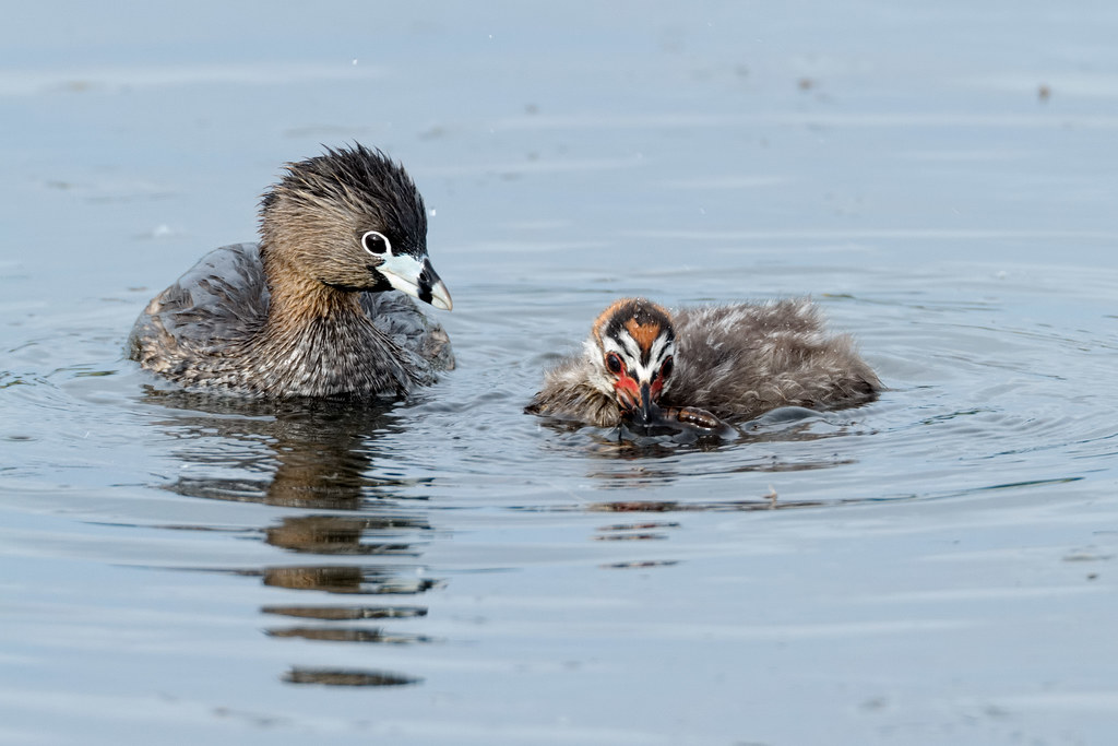 An adult and baby pied-billed grebe