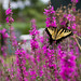 butterfly bush by mintyfreshflavor